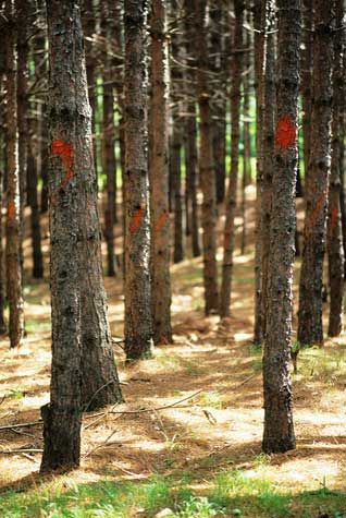 Your Trees at Risk: Heterobasidion Root Disease (HRD)