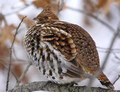ruffed-grouse