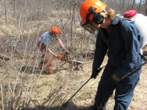 The cut and treat stump method to control buckthorn.